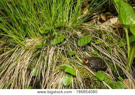 A Bog Turtle basking in it's natural habitat.
