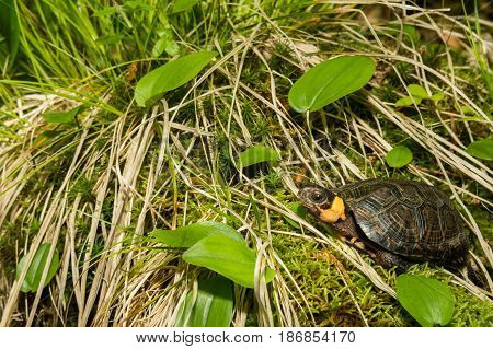 A Bog Turtle basking in the sun.