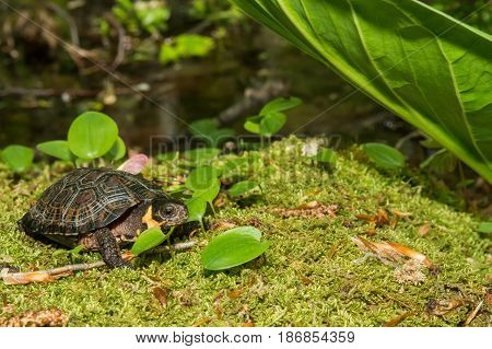 A Bog Turtle walking over a bed of moss.