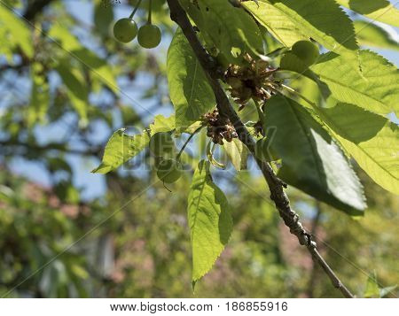 Unripe cherries in spring on tree with leaves. Green cherry in garden, closeup shot. Detail of small fruits on spring theme, trees in background. Spring atmosphere, sunny day. Low depth of field.