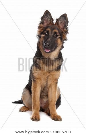 German Shepherd puppy in front of a white background poster