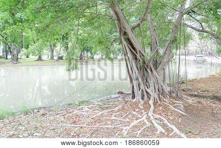 Big root of banyan tree in green park.