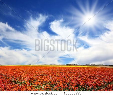Strong wind drives the clouds. The bright southern sun illuminates the flower fields of red garden buttercups- ranunculus. Concept of rural tourism