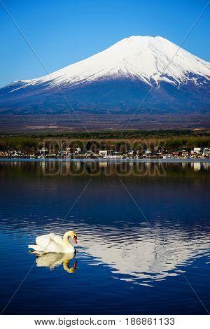 White Swan On Yamanaka Lake, Japan