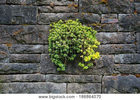 Stone crop succulent plants growing on old stone wall in backyard garden