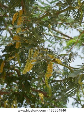 Acacia in blossom, beautiful fluffy yellow flowers