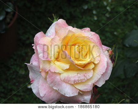 Single yellow rose flower with water droplets in spring