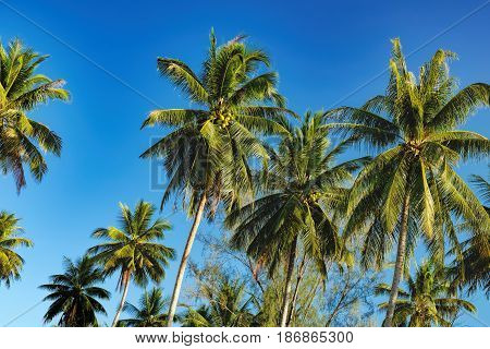 Silhouette of palm tree on Nang Thong Beach, Khao Lak, Thailand. Coconut palm tree on bright blue sky background. Nature vacation background.