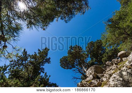 Samaria Gorge. Crete. Greece. Pines on the cliffs and slopes on the background of blue sky.