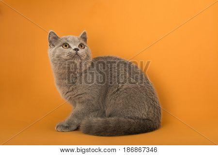 Domestic cat pet kitten animal cute domestic animal cat