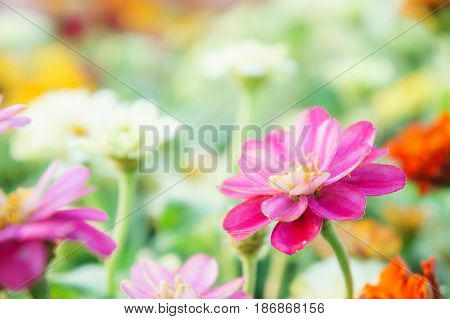floral pink flowers zinnia in the colorful garden