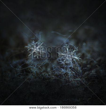 Macro photo of real snowflakes: two snow crystals of stellar dendrite type with elegant shapes, fine symmetry and thin, sharp arms glowing on dark gray woolen background in diffused light.