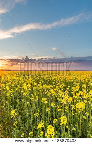 View Over Rapeseed Field With Yellow Blooms With Storm Clouds