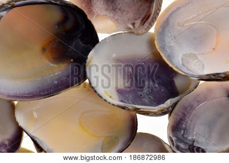 Clam Mollusk Shells In Selective Focus Isolated On White