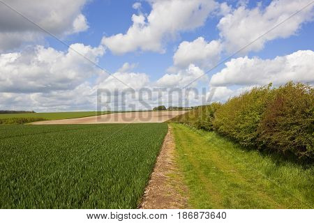 Hawthorn Hedgerow And Wheat Crop