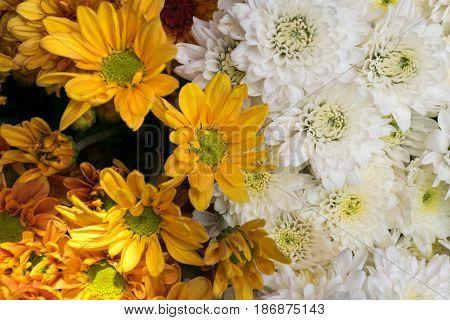 close up white chrysanthemum and Yellow chrysanthemum