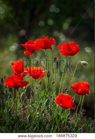 vertical selective focus bokeh image of a group of deep red poppies backlit by the sun setting on the countryside