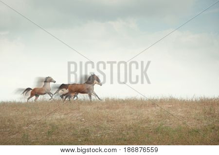 Three horses running in the field. Natural motion blur