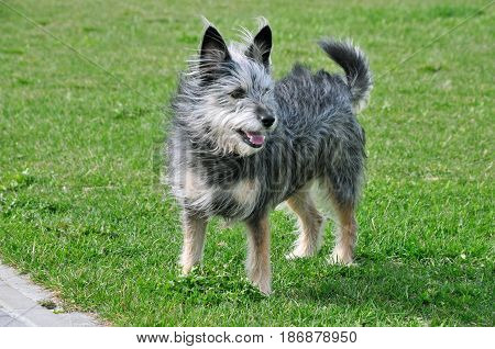 The dog is on a walk. Dog, half-breed terrier, mongrel, female.