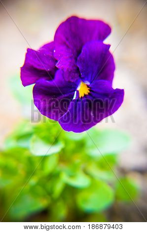 Purple Pansy In Gardens Smiling Flower Purple Pansy