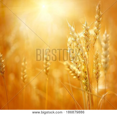 Close up of ripe wheat ears. Beautiful backdrop of ripening ears of golden field. Nature background and  blurred bokeh. Agriculture scene of sun setting over the yellow meadow