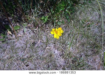 A lance-leaved coreopsis flower (Coreopsis lanceolata) blooms in Joliet, Illinois during August.