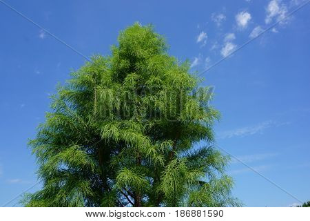 The top of a Japanese cedar tree (Cryptomeria japonica) standing in Joliet, Illinois during August.