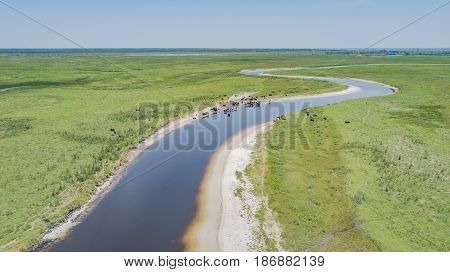 Cattle remain near the water of the St Johns River during Florida's dry season in Winter and early Spring