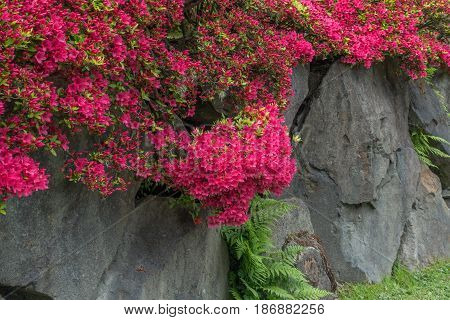 Brillaint red flowers grow on top of a rock wall in a Seattle garden.