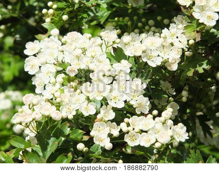 hawthorn flowers on the tree in spring
