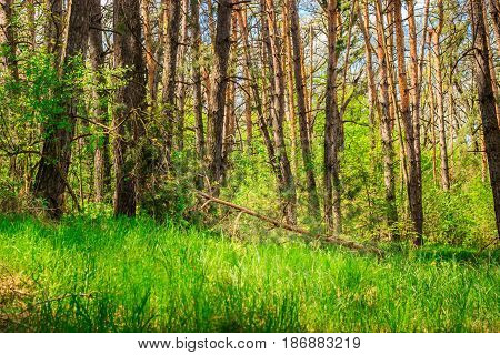 Bright and bright natural background fallen pine in a dense forest around light and green very beautiful view clean ecology