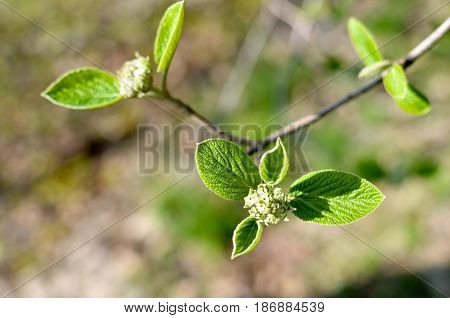 Horizontal Photo Of Tree Brunch With Fat Green Lovely Leaf Bud