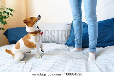 Woman jumping on bed together with dog jack russell terrier