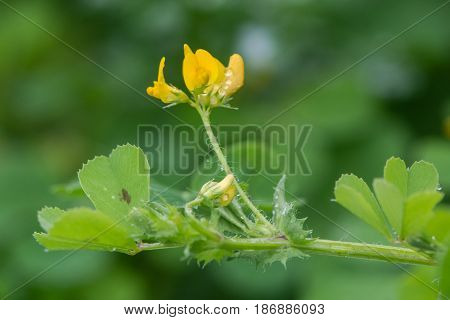 Spotted medick (Medicago arabica) in flower. Yellow flower and distinctive leaflets with dark blotch in centre of this plant in the pea family (Fabaceae)