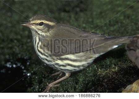 A Northern Waterthrush (actually a warbler) standing at the edge of a forest pond