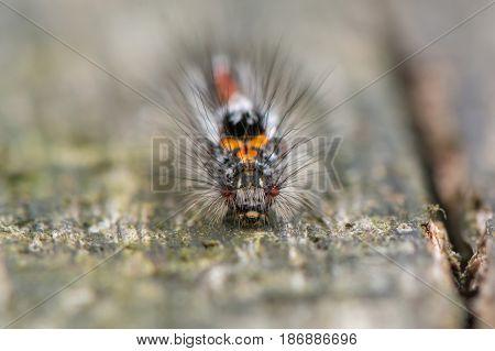Yellow-tail moth (Euproctis similis) caterpillar. Larva in family Erebidae subfamily Lymantriinae covered with irritating hairs