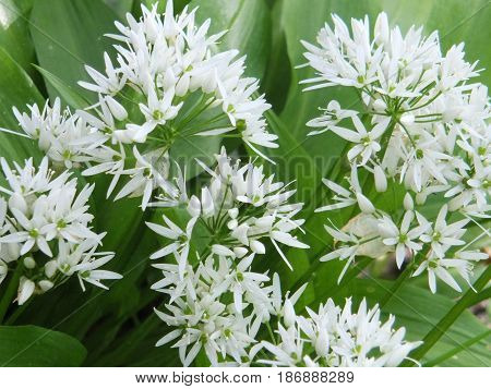 wild garlic flowers in spring with bright green leaves