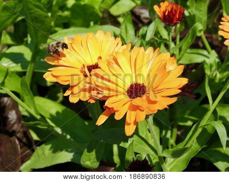 yellow zinnia summer flower with bumble bee