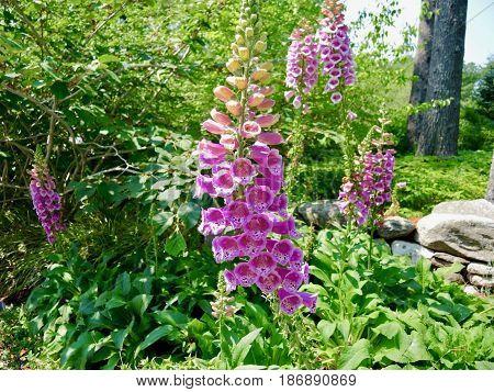 Hot pink Hollyhock Coastal Maine Botanical Gardens