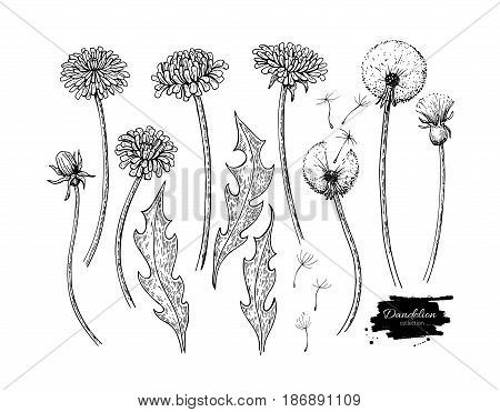 Dandelion flower vector drawing set. Isolated  wild plant and flying seeds. Herbal engraved style illustration. Detailed botanical sketch