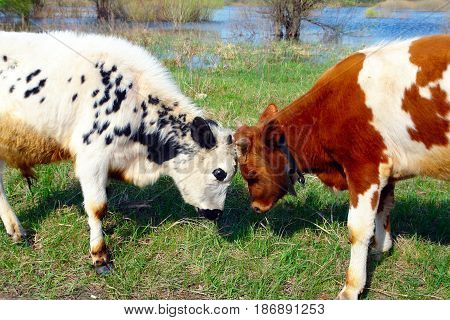 Two bulls butt on a meadow 1