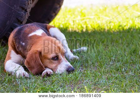 Dog of the Beagle breed with pensive eyes lies on the green grass. Soft focus