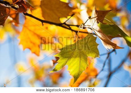 Autumn leaf leaves platanus branch plane tree branches