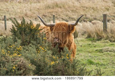 Highland Cow, Behind A Gorse Bush In A Field