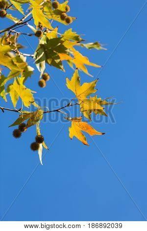 Autumn leaf leaves branch branches plane tree platanus