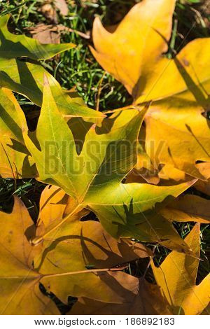 Autumn leaf leaves ground lawn maple plane tree