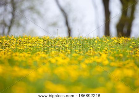 Field of Blooming Dandelions in the Springtime