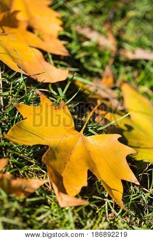 Autumn leaf leaves ground grass lawn plane tree