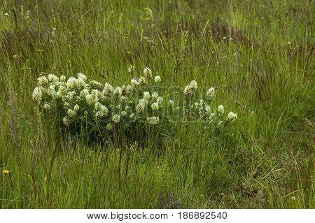 Dutch clover or Trifolium repens  often met wild white flower, Plana mountain, Bulgaria