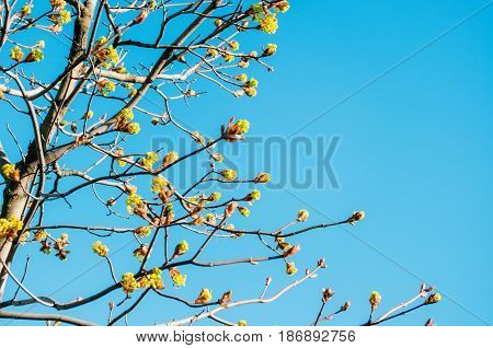 Blossoming Buds Of A Tree Maple, Flowering Maple In The Spring On A Clear Sky.